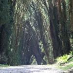 yew tree walk